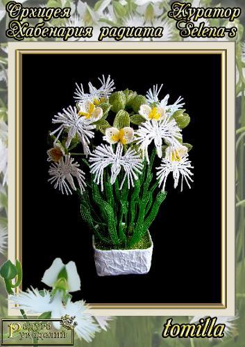 Галерея выпускников Орхидея Хабенария радиата _eb60d08ebc82abf8793b1a0802f07018