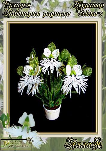 Галерея выпускников Орхидея Хабенария радиата _5eaaf33b9dce6a71d1c06992e232e41b