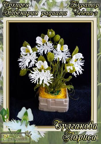 Галерея выпускников Орхидея Хабенария радиата _b82f657d22a2b197cbeb9becb951ea3a