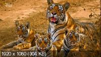 Дикие кошки Индии (2019) HDTV  Серия 2  Мастера камуфляжа