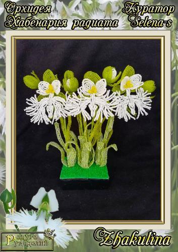 Галерея выпускников Орхидея Хабенария радиата _d5c319b11efdeb98aeaf30a891ba1c9b