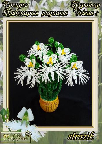 Галерея выпускников Орхидея Хабенария радиата _4776d7731312fe9d9f01d021b038e7ea